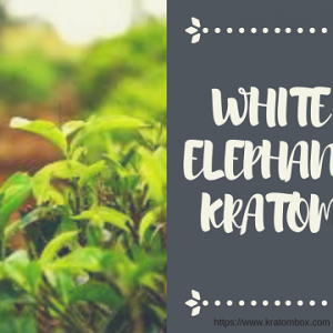 White Hulu Kapuas Kratom - Usage - Benefits & Effects - Why Its Better?